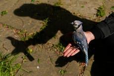EXPLICATEUR: What's making mid-Atlantic songbirds sick?