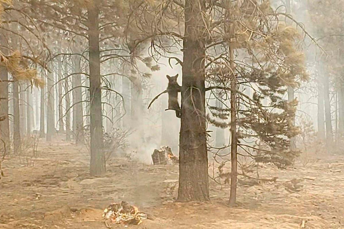 西部野火: California blaze crosses into Nevada