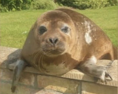 Pensioner finds 150lb seal sunning herself in back garden – 20 miles from the nearest sea