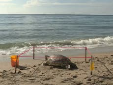 Dead Sea Turtle found with 'puncture to head' on Florida beach