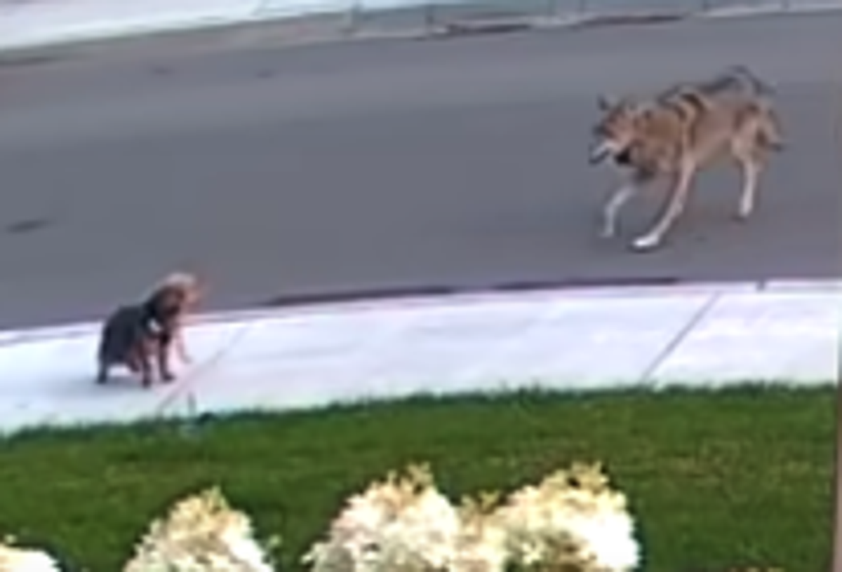 Brave terrier defends 10-year-old owner from coyote during walk in Toronto