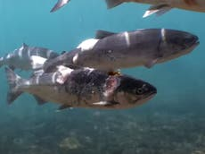 Video shows endangered salmon scorched to death in river during US heatwave