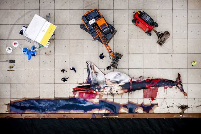 A picture taken with a drone shows researchers from the Faculty of Veterinary Medicine of Utrecht University investigating a dead fin whale found in the harbor of Terneuzen, The Netherlands