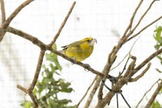 'Critically endangered' bird found living in Hawaii volcano