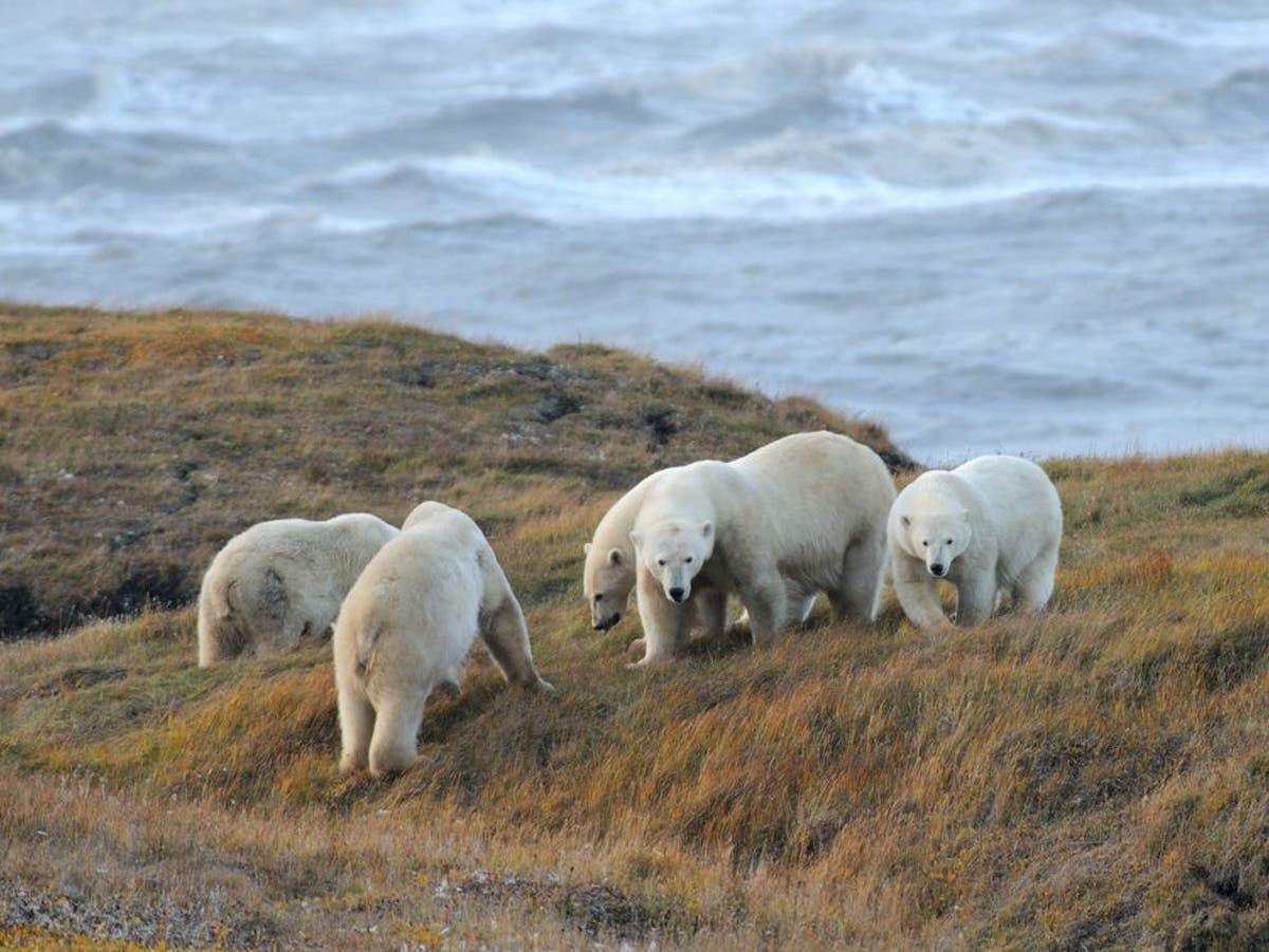 Os ursos polares estão se reproduzindo devido ao derretimento do gelo marinho