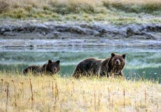 Yellowstone hunts for woman who got too close to grizzly bear