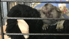 Baby monkey called TikTok rescued from 'miserable life' in Essex