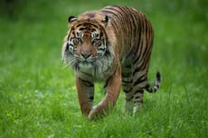 Two critically endangered Sumatran tigers infected with Covid