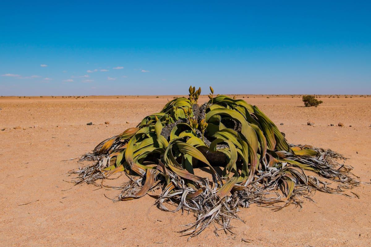 Une plante qui « ne peut pas mourir » révèle ses secrets génétiques