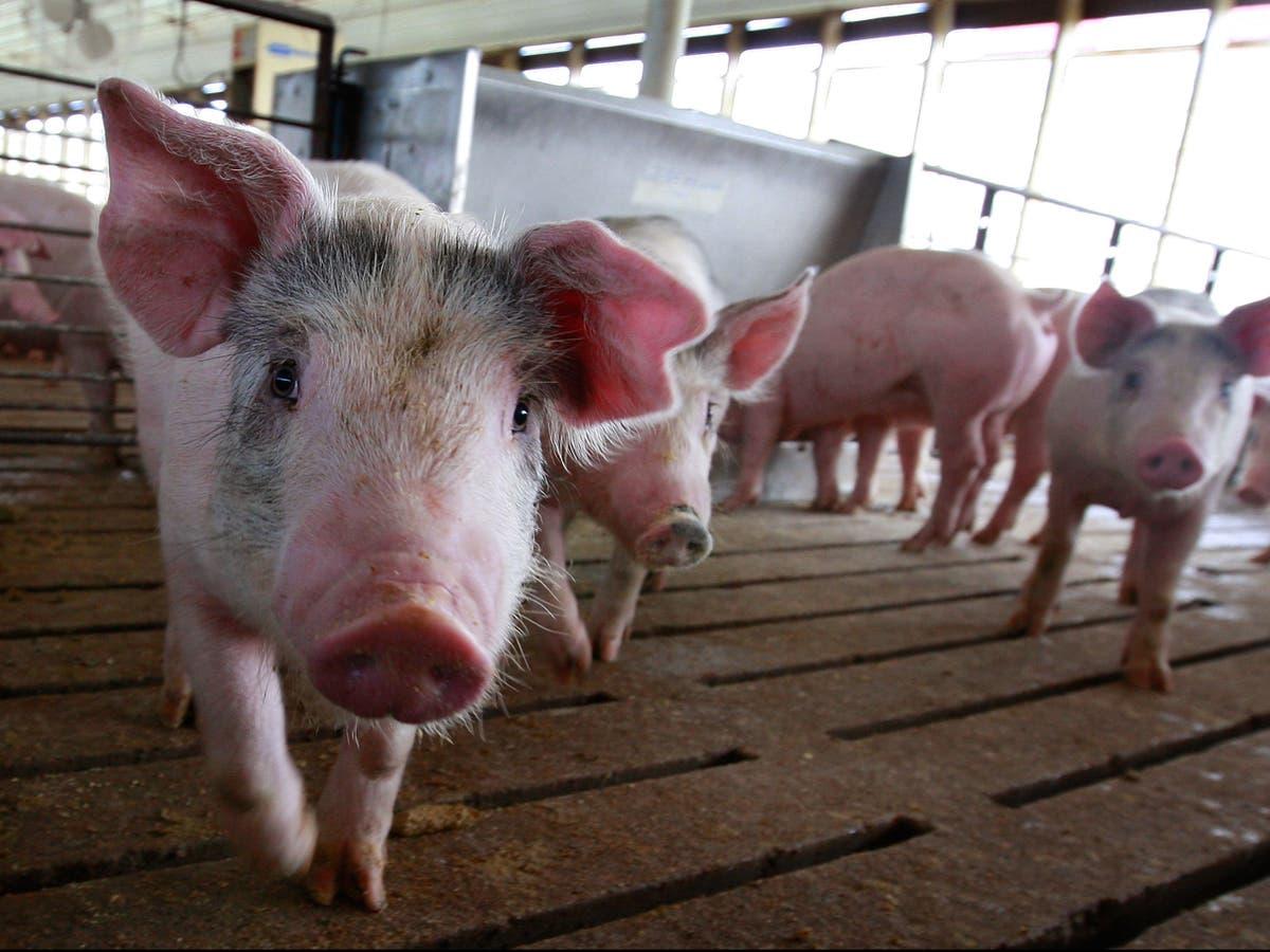 Bacon farmers in California under threat as animal welfare rules take effect