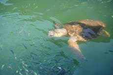 Five sea turtles have died by boats in Massachusetts in the past month alone