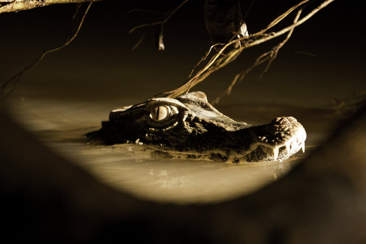 Scientists discover miniature Jurassic crocodile that offers clues to evolution of modern reptiles