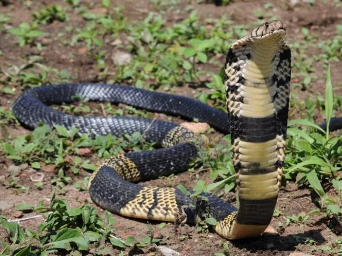 Poisonous snake on the loose after escaping into Texas neighbourhood