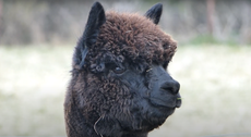 Why was Geronimo the alpaca killed by government vets?