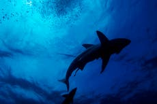 Sharks were spared during extinction event that wiped out dinosaurs, 研究は見つけます