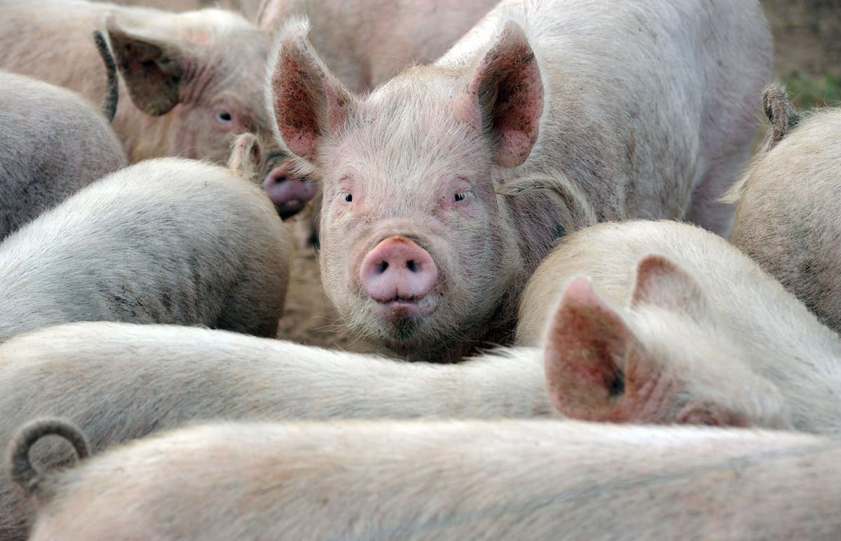 Worker exodus after Brexit putting pig farms at threat