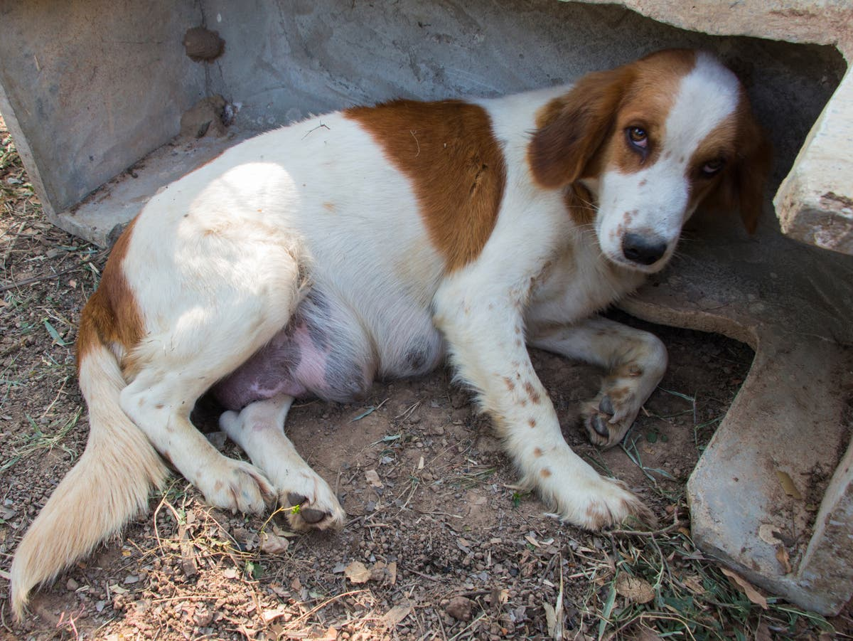 Imports of heavily pregnant dogs and those with cropped ears to be banned