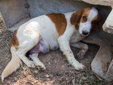 Imports of heavily pregnant dogs and those with cropped ears or docked tails to be banned
