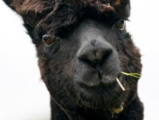 Geronimo the alpaca's owner on tenterhooks after stays of execution expire