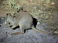 Fungi-eating endangered brush-tailed bettongs reintroduced in Australian rewilding project