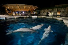 Second beluga in failing health after move to Connecticut