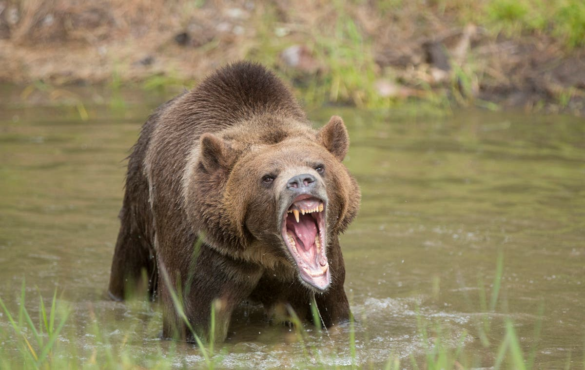 Mountain goat kills grizzly bear in Canada
