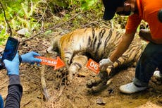 Mother tiger and cubs found dead after being caught in poachers' traps