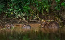 How beavers finally returned to British rivers after 400 anos