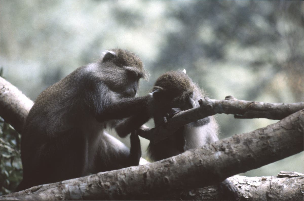Mening: Vil du lykkes i kjærlighet og dating? Å kopiere aper kan hjelpe