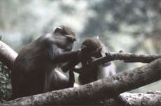 意見: 恋愛と交際で成功したい? サルをコピーすることは助けることができます
