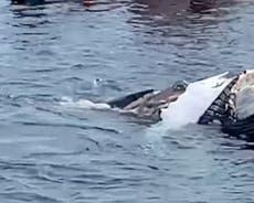 Sharks filmed feeding on dead whale off Cape Cod