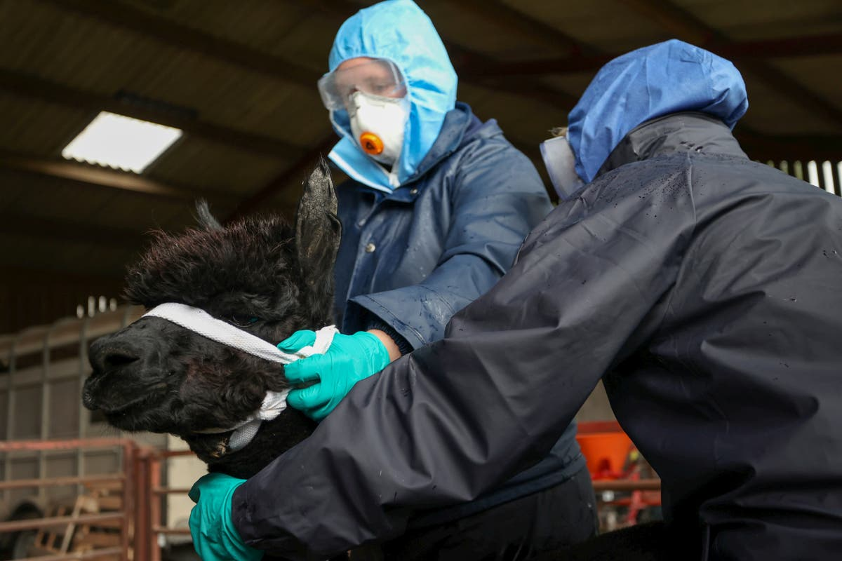 Geronimo the alpaca has been killed by government vets