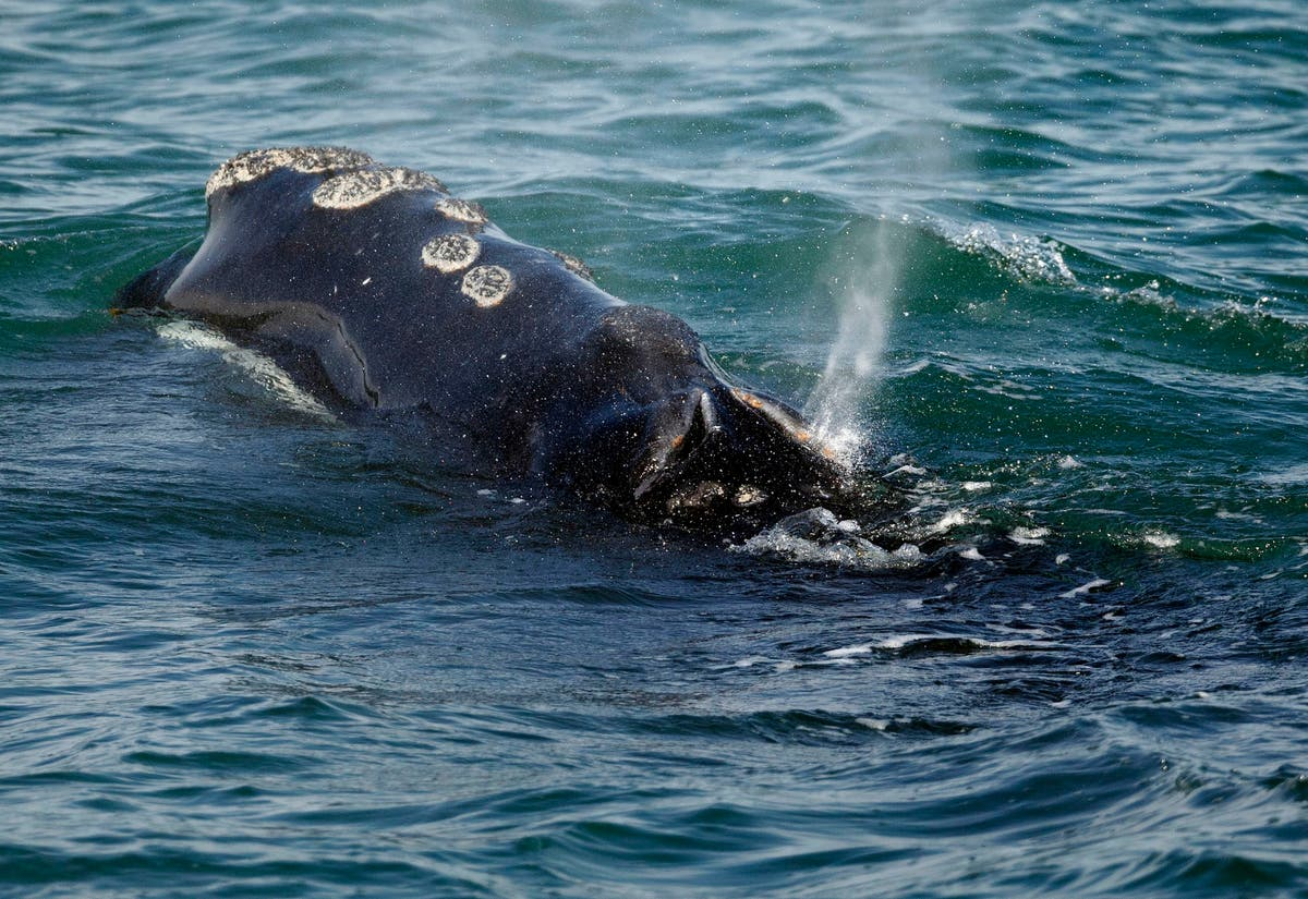 Lobster fishing will face restrictions to try to save whales