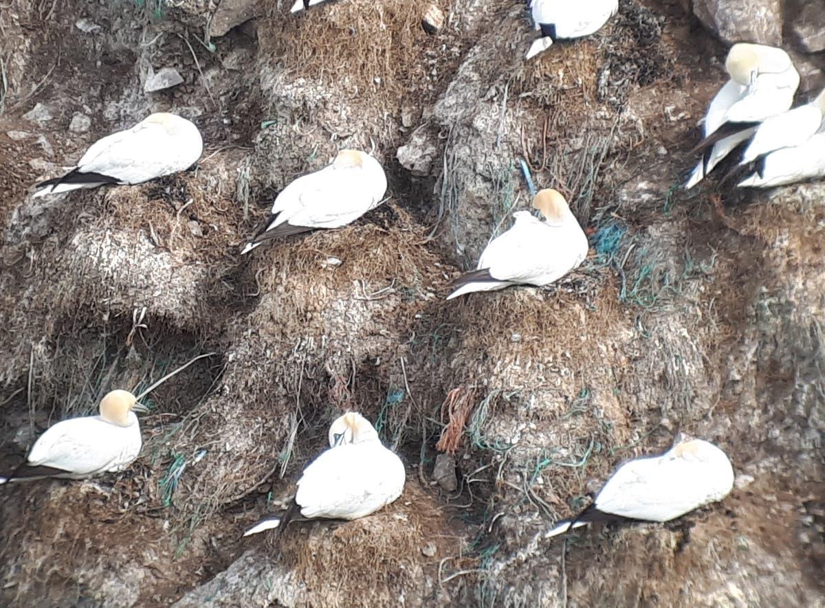 Growing level of plastic in sea birds' nests highlights worsening ocean pollution