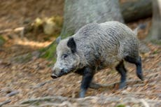 Rome mayor sues regional government over 'uncontrolled wild boar' in capital