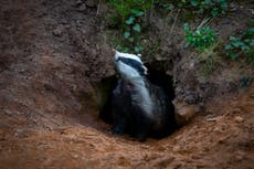 Thousands of badgers to be killed as cull zones extended