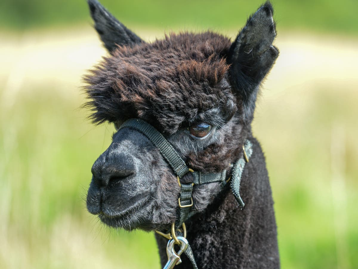Geronimo the alpaca 'did not have TB, initial results show'