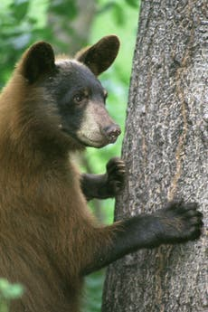 Campaigners urge Nevada to shut down annual bear hunt after wildfires