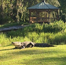 Alligator who dominated America's largest swamp and won a legion of fans dies aged 80