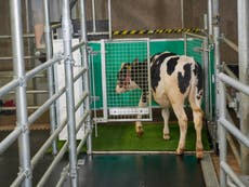 Scientists 'toilet-training' cows to reduce their waste emissions