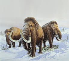 Geneticists aiming to bring woolly mammoths back from dead within next six years