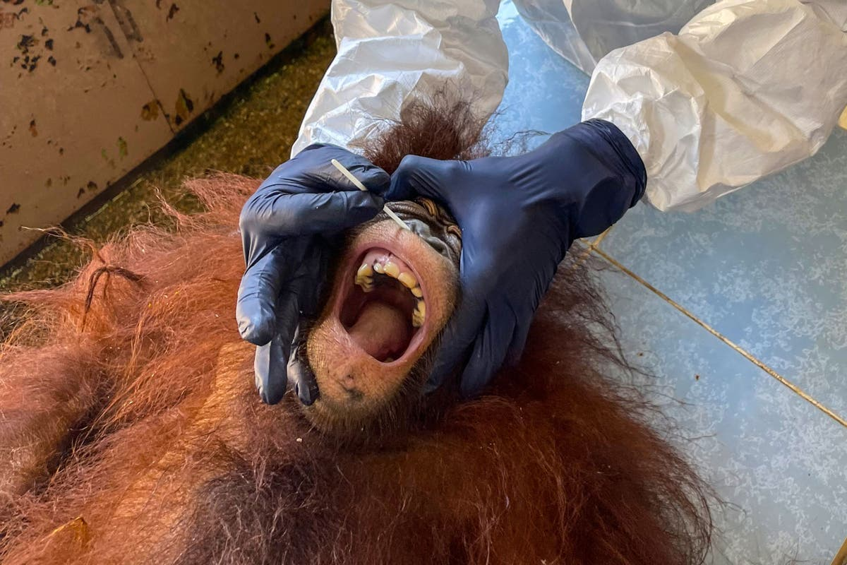 Vets in full PPE give orangutans in Malaysia nasal swabs to test for Covid
