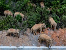 Chinese city launches 'food court' for elephants in case of future migrating herds