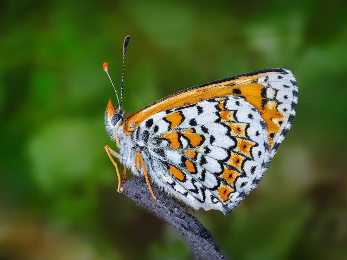 Des scientifiques lâchent accidentellement des papillons infectés par des guêpes parasites