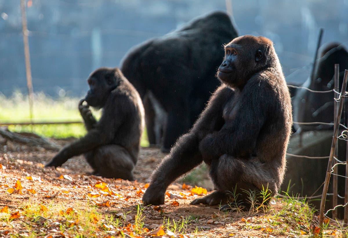 18 de 20 gorillas at Atlanta's zoo have contracted COVID