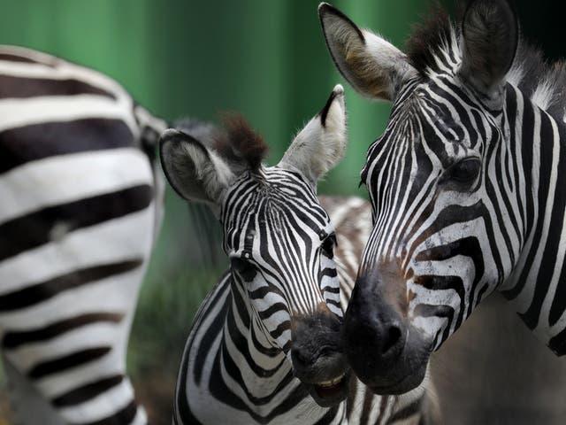 A zebra family at Alipore Zoo in Kolkata