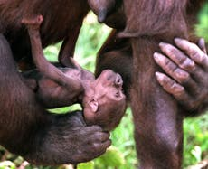 Gorilla mothers carry their dead babies around, suggesting they grieve