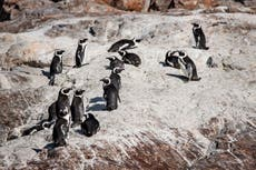 Honey bees suspected in deaths of 63 endangered penguins in South Africa