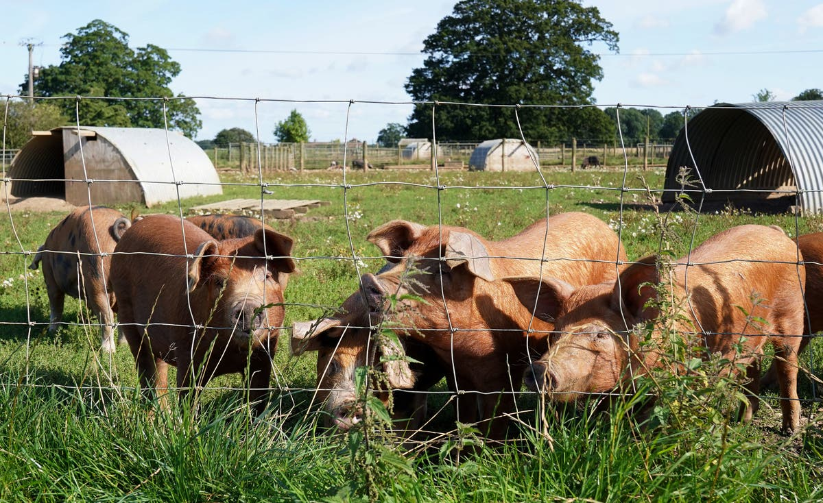 Pig farmers may be forced to cull animals amid abattoir gas shortage