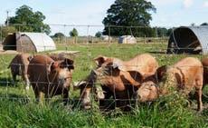 養豚業者は、食肉処理場のガス不足の中で動物を淘汰することを余儀なくされる可能性があります